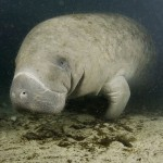 Manatee Behavior