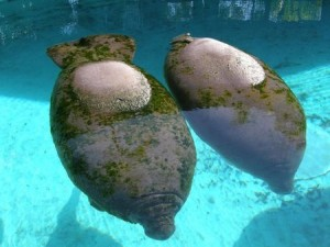 The Manatees Social Structure
