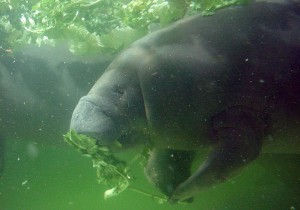 what do manatees eat captain mike s swimming with the manatees