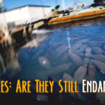 Manatees: Are They Still Endangered?
