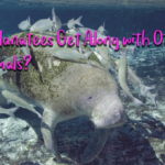 Do Manatees Get Along with Other Animals?