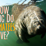 How Long Do Manatees Live?