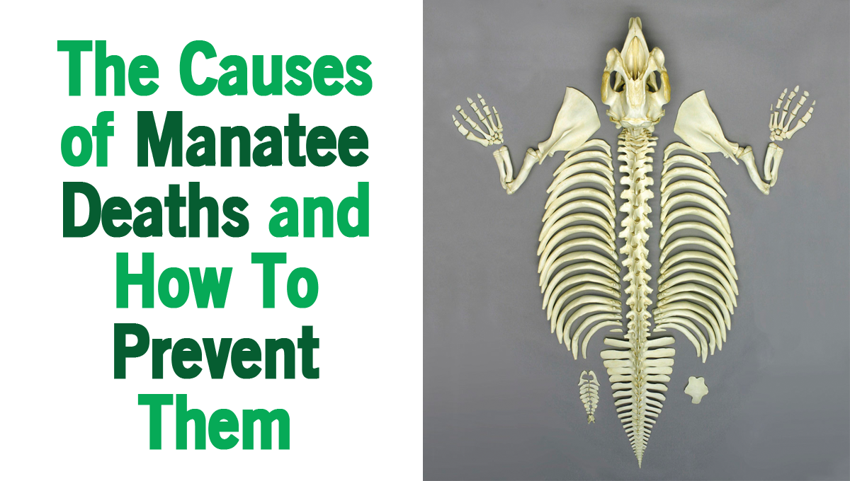 The Causes of Manatee Deaths and How To Prevent Them