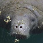 Diet and Eating Habits of Manatees