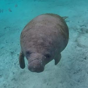 Manatees No Longer Listed as Endangered