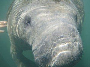 Tips for Swimming with the Manatees