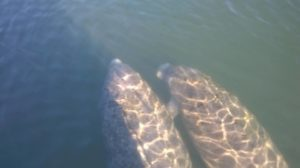 Manatees swimming together