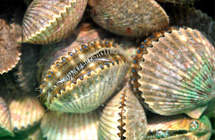 Scalloping Tours