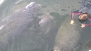 Swim with a Manatee family
