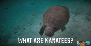 Manatees - The Most Amazing Aquatic Creatures