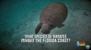 What Species of Manatee Inhabit the Natural Springs of Florida?
