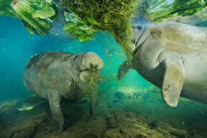 Manatees Being Fed Vegetation