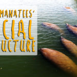 The Manatees' Social Structure