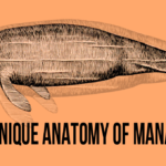 The Unique Anatomy of Manatees