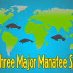 The Three Major Manatee Species