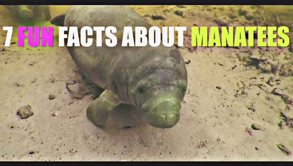 7 Fun Facts about Manatees