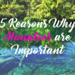 5 Reasons Why Manatees are Important