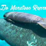 How do manatees reproduce?