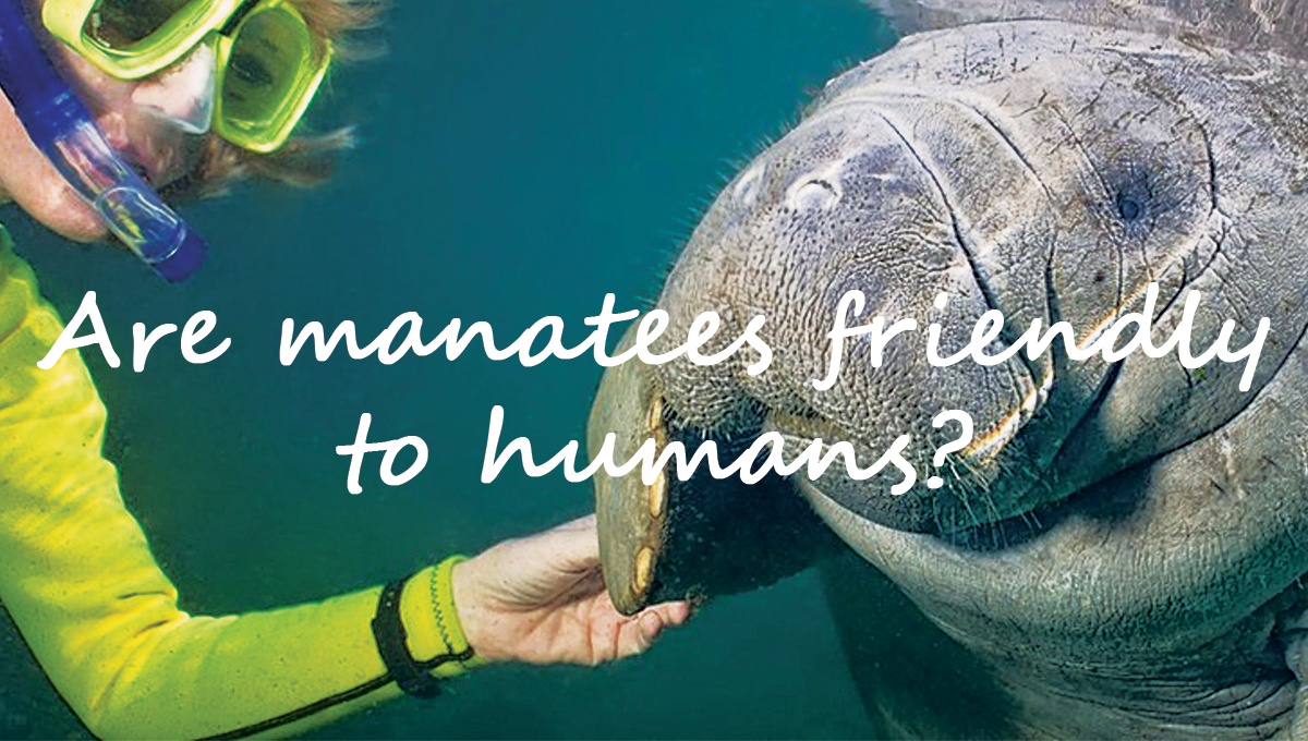 Are manatees friendly to humans?