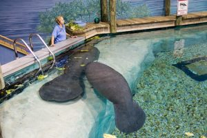 Can you teach a manatee