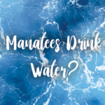 Can manatees drink salt water?