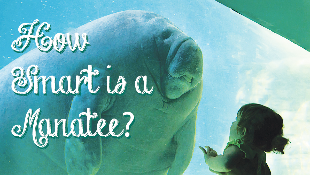 How smart is a manatee?