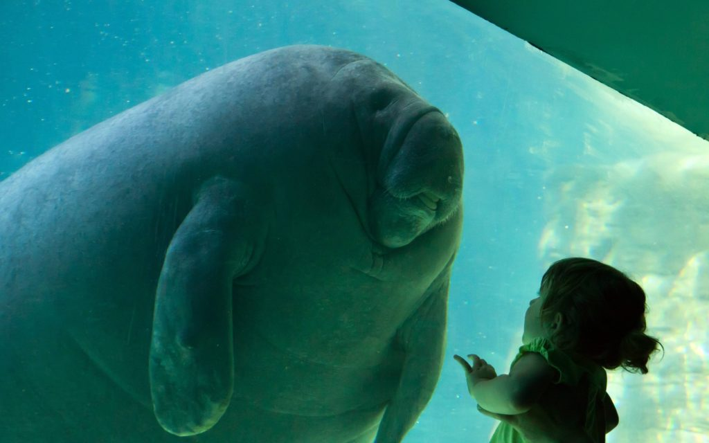 How smart is a manatee