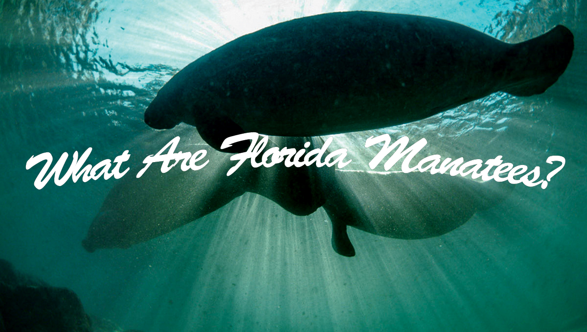 What Are Florida Manatees?