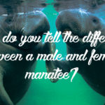 How do you tell the difference between a male and female manatee?
