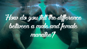 Difference between a male and female manatee