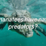 Do manatees have natural predators?