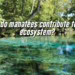How do manatees contribute to the ecosystem?