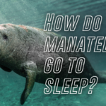 How do manatees go to sleep?