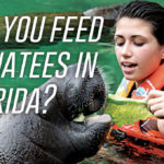 Can you feed manatees in Florida?