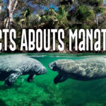 Facts Abouts Manatees