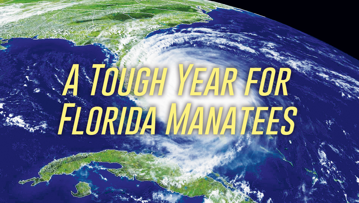 A Tough Year for Florida Manatees