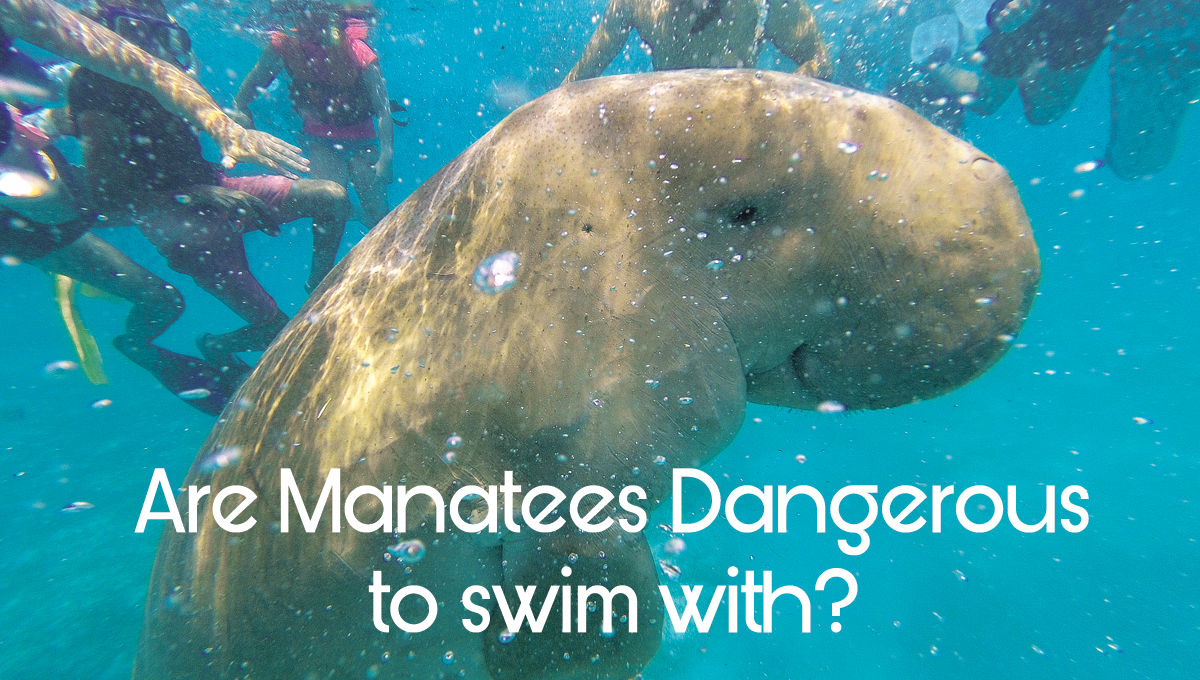 Are manatees dangerous to swim with?