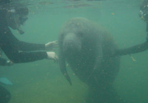 Manatees and Snorkeling