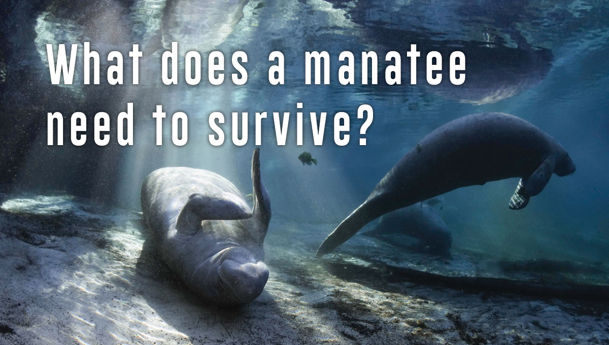 What does a manatee need to survive?