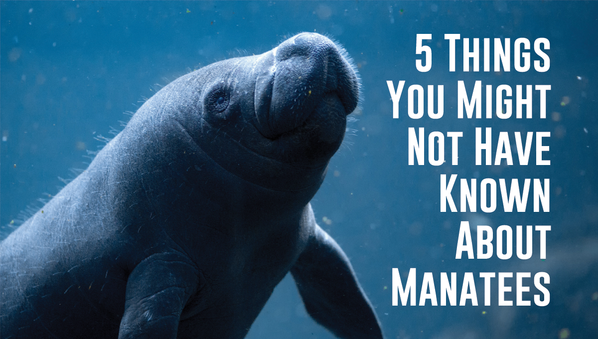 5 Things You Might Not Have Known About Manatees