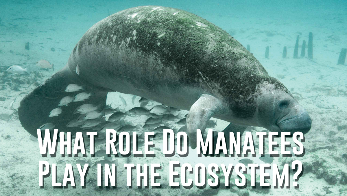 What Role Do Manatees Play in the Ecosystem?