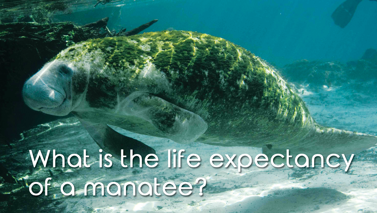 What is the life expectancy of a manatee?