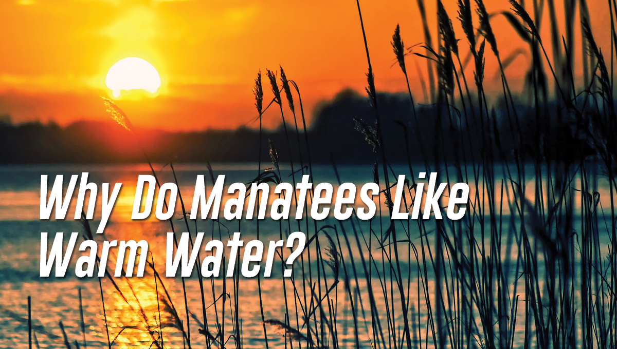 Why Do Manatees Like Warm Water?