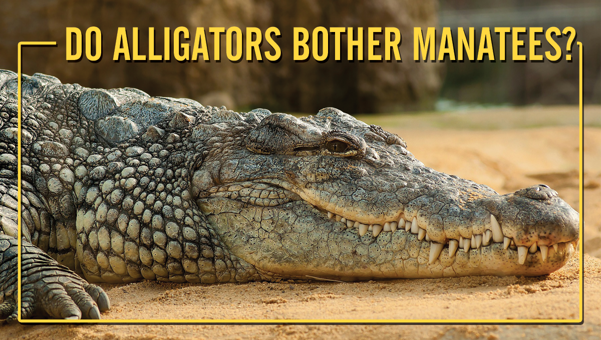 Do alligators bother manatees?