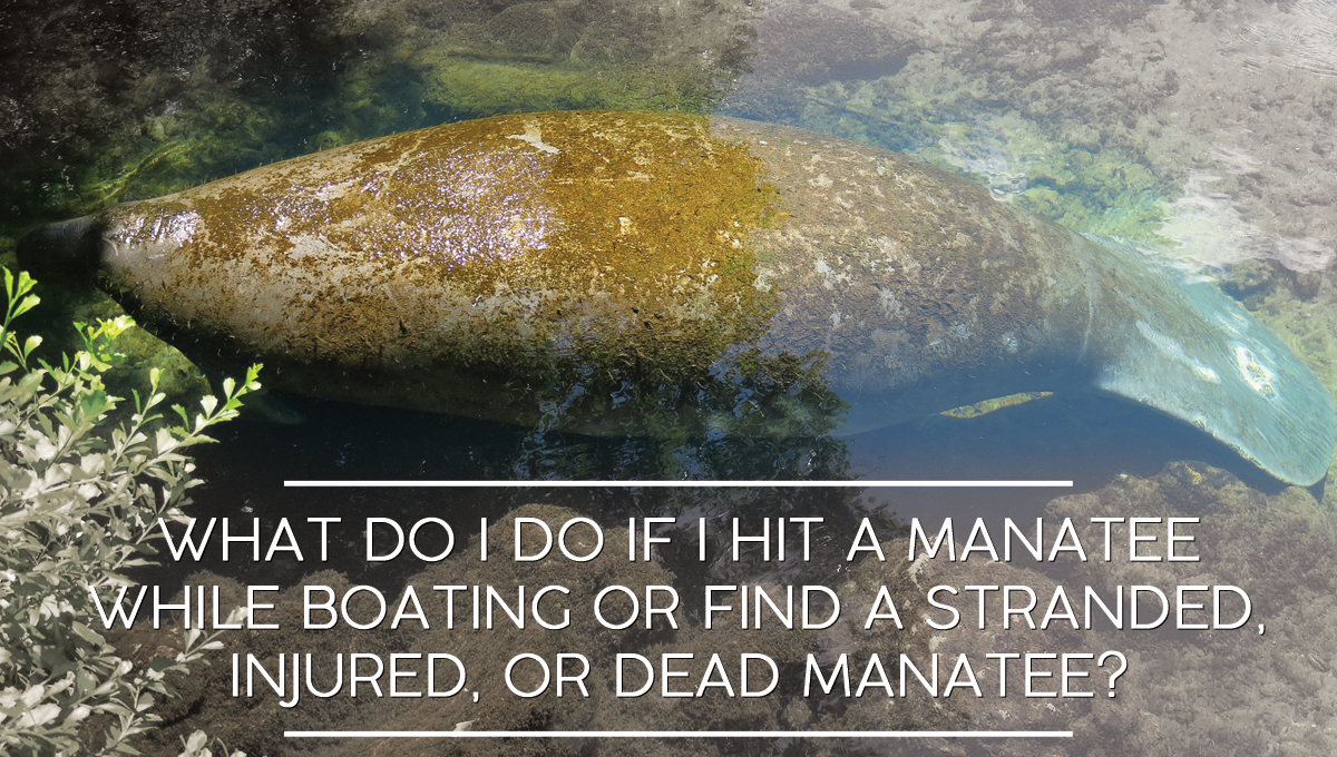 What do I do if I hit a manatee while boating or find a stranded, injured, or dead manatee?