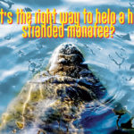 What's the right way to help a hurt or stranded manatee?