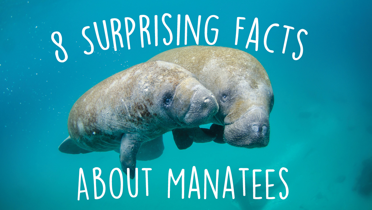 8 Surprising Facts About Manatees