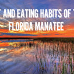 Diet and Eating Habits of the Florida Manatee