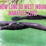 How long do West Indian manatees live?
