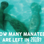 How many manatees are left in 2019?